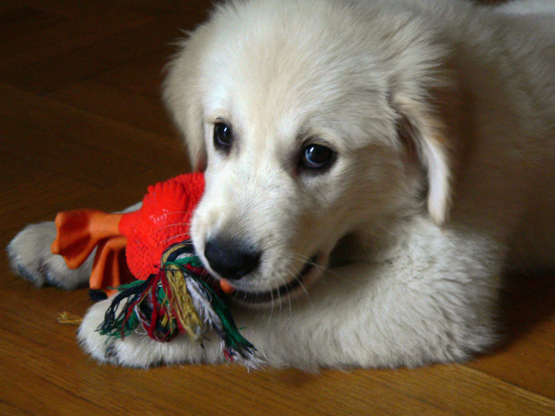 Golden_Retriever_2_meses